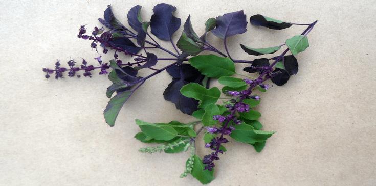 fresh tulsi or holy basil leaves