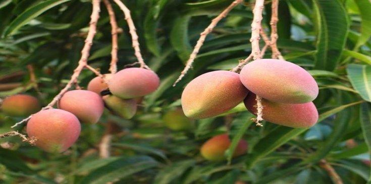 great taste amrapali mango