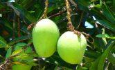 all mango varieties in india