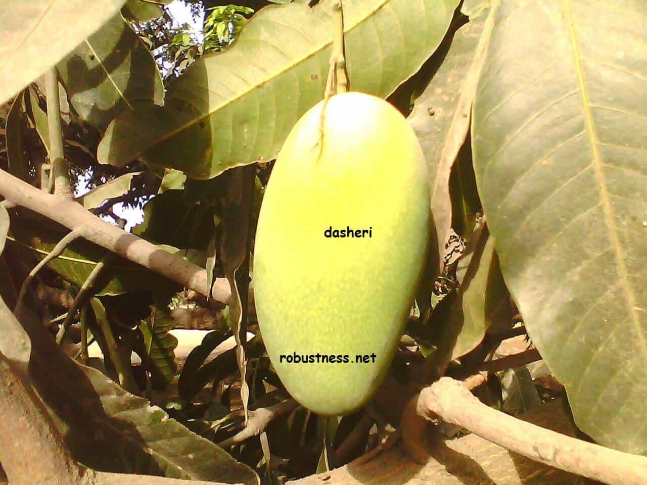dasheri mango at the orchard