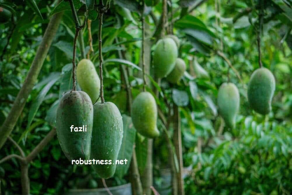 bigger size of mango variety fazli or fozli mango