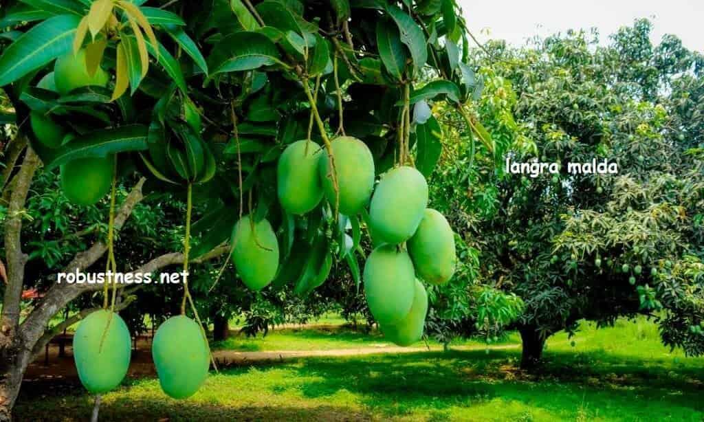 raw langra mangoes on tree