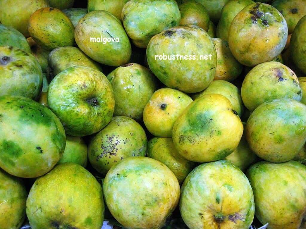 malgova mango in large quantity